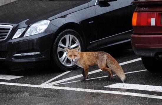 fox_inthecity